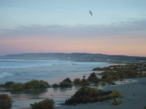 Sunrise with kelp and soaring dove